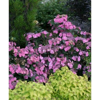 4.5 in. Qt. Tuff Stuff Reblooming (Mountain Hydrangea) Live Shrub, Blue, Pink, and Purple Flowers