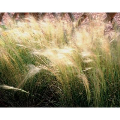 4.5in. Qt. Pony Tails Mexican Feather Grass (Nassella) Live Plant, Tan Flowers and Green Foliage