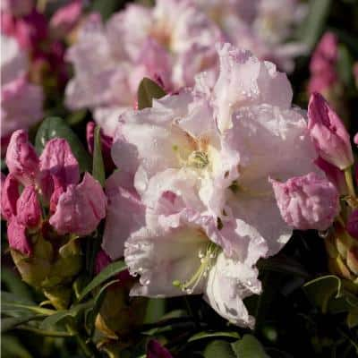 2 Gal. Breeze Southgate Rhododendron, Live Evergreen Shrub, Pink Buds Open to White Flowers with Maroon Speckles