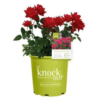 3 Gal. Red The Double Knock Out Rose Bush with Red Flowers