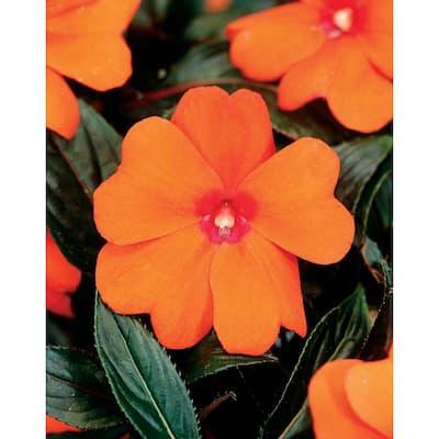1.8 Gal. New Guinea Plant Orange Flowers in 11 in. Hanging Basket