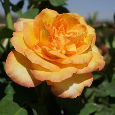Yellow Rose Gold Metal Root Stock