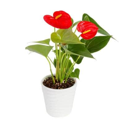 4 in. CF Anthurium Plants In Ceramic Pot