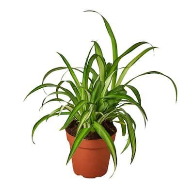 Spider Plant Hawaiian (Chlorophytum comosum) Plant in 4 in. Grower Pot