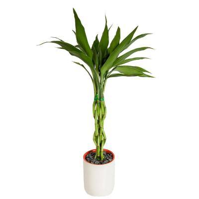 Small Lucky Bamboo Plant in Deco Pot