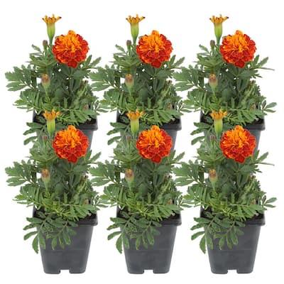 1 Pt. Orange Marigold Flowers in Grower's Pot (6-Pack)