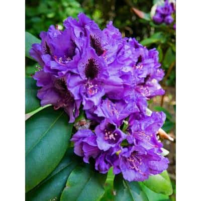 1 Gal. Florence Parks Rhododendron Shrub Unique Violet Flowers Bloom in Huge Globeshaped Bunches