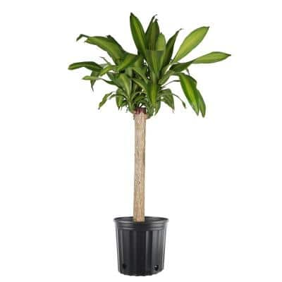 10 in. Massangeana Cane Plant in Pot