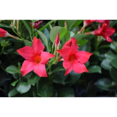 #9 Patio Pot Dipladenia Flowering Annual Shrub with Red Blooms