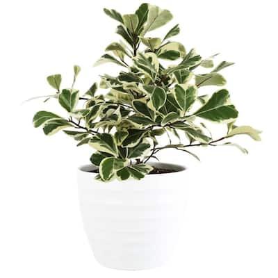 6 in. Ficus Triangularis Varg. Plant in Scheurich Pot