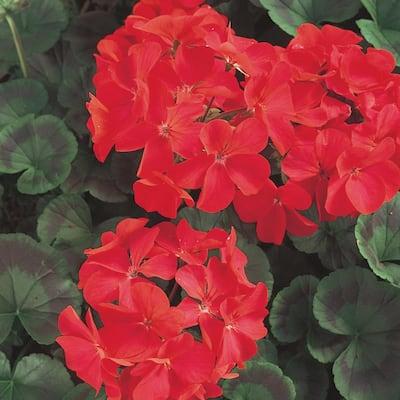 1 Qt. Red Geranium Plant