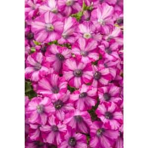 Supertunia Rose Blast Charm (Petunia) Live Plant, Light Pink and Bright Pink Striped Flowers, 4.25 in. Grande