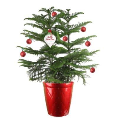 10 in. Live Holiday Decorative Pine