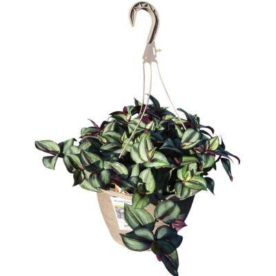 1.8 Gal. Tradescantia Zebrina Purple in 11 In. Hanging Basket