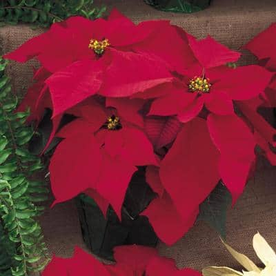 6.5 in. Poinsettia Plant with Red Flowers