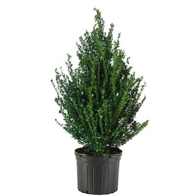 7 Gal. Steeds Upright Japanese Holly Shrub with Dark Green Foliage