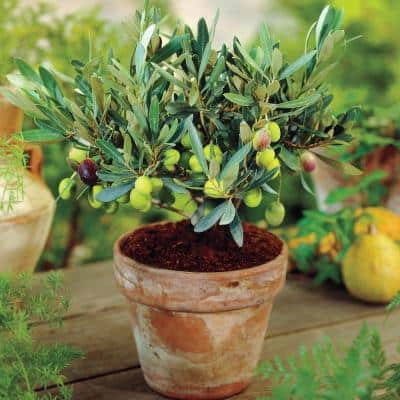 3 in. Pot Green Olive Which Ripen Black Mediterranean Olive Tree (Olea) Live Potted Fruiting Tropical Tree (1-Pack)