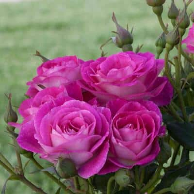 Easy To Please 24 in. Tall Tree Rose, Live Bareroot Plant, Pink Color Flowers (1-Pack)