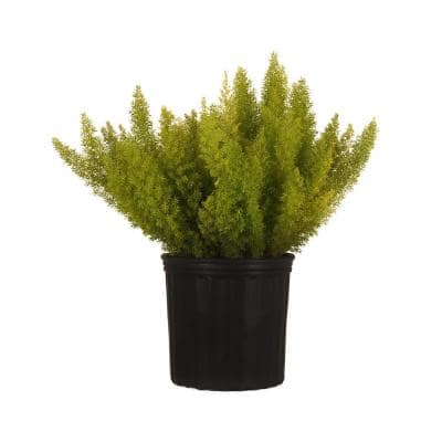 Foxtail Fern Live Asparagus Densiflorus Indoor Plant Shipped in 9.25 in. Grower Pot at 20 in. to 24 in. Tall