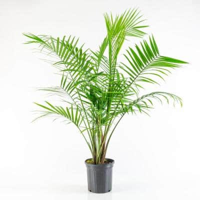 2.5 Qt. Majesty Palm Ravenea Plant in Grower Pot