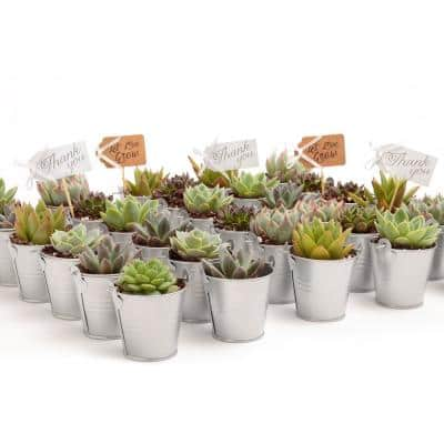 2 in. Wedding Event Rosette Succulents Plant with Silver Metal Pails and Let Love Grow Tags (60-Pack)