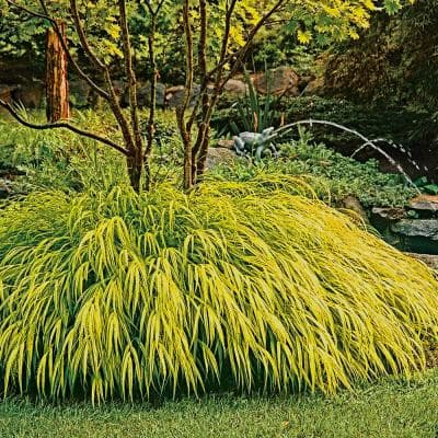 3 in. Pot Golden Yellow Foliage Gold Japanese Forest Grass (Hakonechloa) Live Potted Perennial Plant (1-Pack)