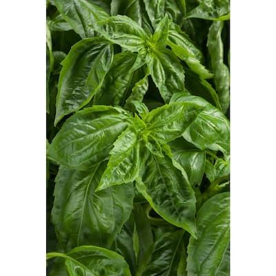 4.25 in. Grande Amazel Basil (Ocimum) Live Plant, Green Edible Foliage (4-Pack)