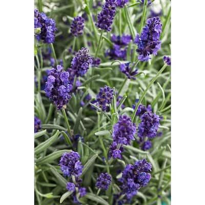 4.5 in.Qt. Sweet Romance Lavender (Lavandula) Live Plant, Blue-Purple Flowers