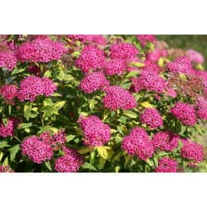 Double Play Painted Lady Spirea (Spiraea) Live Shrub, Pink Flowers and Variegated Foliage, 4.5 in. qt.