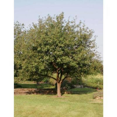 2.25 Gal. Deciduous Mexican White Oak Tree