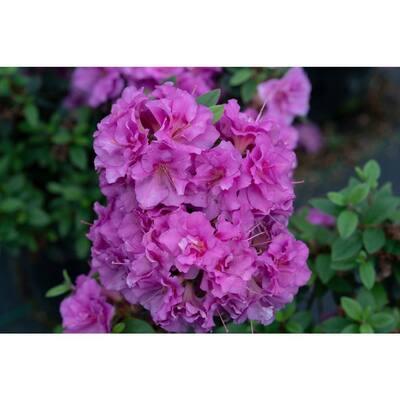 4.5 in. Qt. Perfecto Mundo Double Purple Reblooming Azalea (Rhododendron) Live Shrub, Purple Flowers