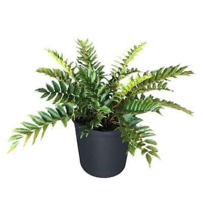2.5 Qt. Japanese Fern in 6.33 In. Grower's Pot (4-Plants)