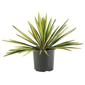 2.25 Gal. Color Guard Yucca Plant with Creamy White and Dark Green Foliage