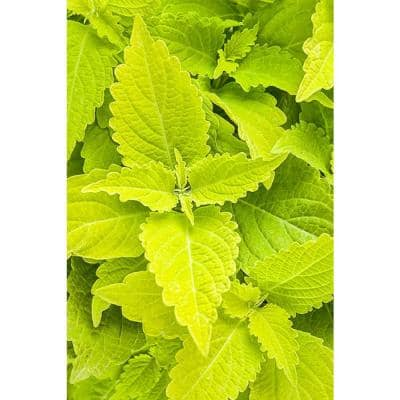4-Pack, 4.25 in. Grande ColorBlaze Lime Time Coleus (Solenostemon) Live Plant, Lime Green Foliage