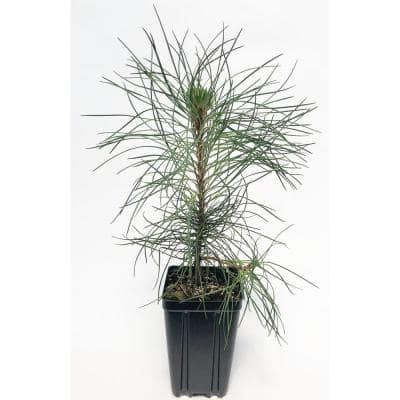 Red Pine Potted Evergreen Tree