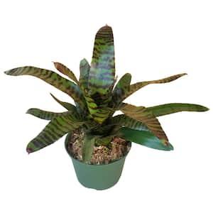Tiger Neoregelia Bromeliad Plant in 6 in. Grower Pot