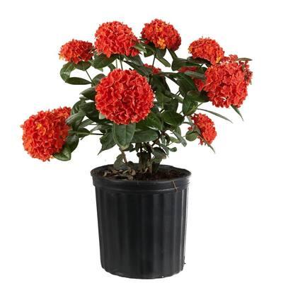 2 Gal. Orange Blooming Ixora Outdoor Plant in Grower's Pot