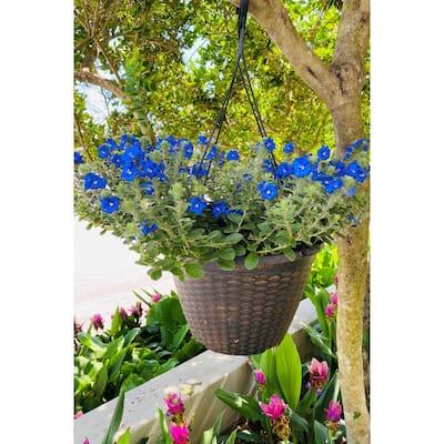 2 Gal. Blue Daze Evolvulus Plant in 12 In. Hanging Basket