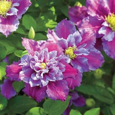 2 in. Pot Piilu Clematis Live Perennial Plant Lilac Colored Flowering Vine