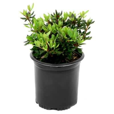 2.5 Qt. FlorAmore Azalea Red Shrub with Red Blooms