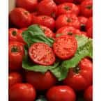 4.25 in. Grande Proven Selections First Lady II (Tomato) Live Vegetable Plant, 4-Pack