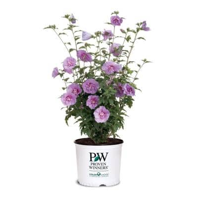 2 Gal. Lavender Chiffon Rose of Sharon (Hibiscus) Plant with Lavender Flowers