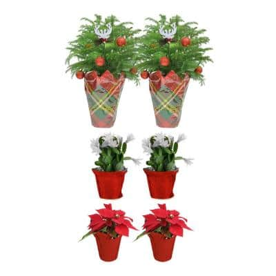 2 in. to 6 in. Norfolk Island Pine, 2 in. to 4 in. Christmas Cactus and Poinsettia Live Holiday Decor Bundle (6-Pack)