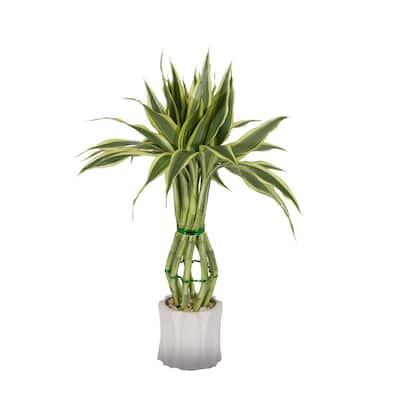 Medium Lucky Bamboo Plant in Exotic Pot