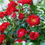 2 Gal. It's A Breeze Groundcover Rose Plant with Dark Red Double Blooms