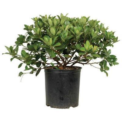 9.25 in. Pot - Snow White Indian Hawthorn, Live Evergreen Shrub, White Blooms