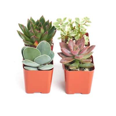 2 in. Unique Succulent (Collection of 4)