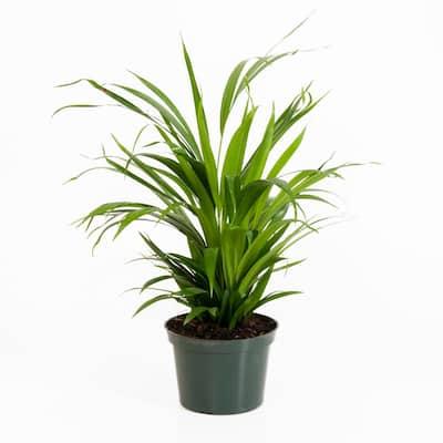 Areca Palm in 6 in. Grower Pot