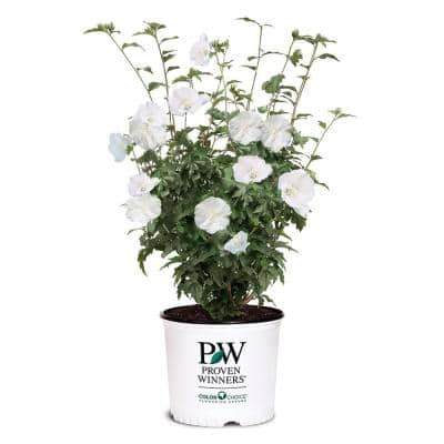 2 Gal. White Pillar Rose of Sharon (Hibiscus) Plant with White Flowers