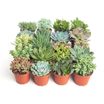 4 in. Assorted Succulent Collection Succulent (Collection of 40)